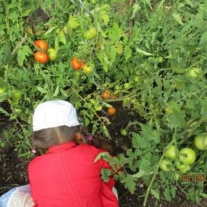 Ein Mädchen kniet vor einer Tomatenpflanze an der bereits rote Tomaten hängen.
