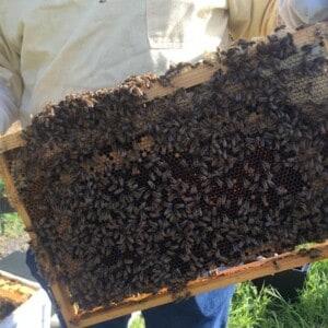 Ein Imker hält eine Wabe mit vielen Bienen in der Hand.